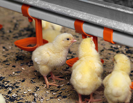 Factors affecting the feed intake of chickens - Epol | The